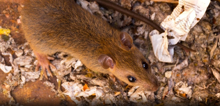 Brown Rats – Rats Removal Services