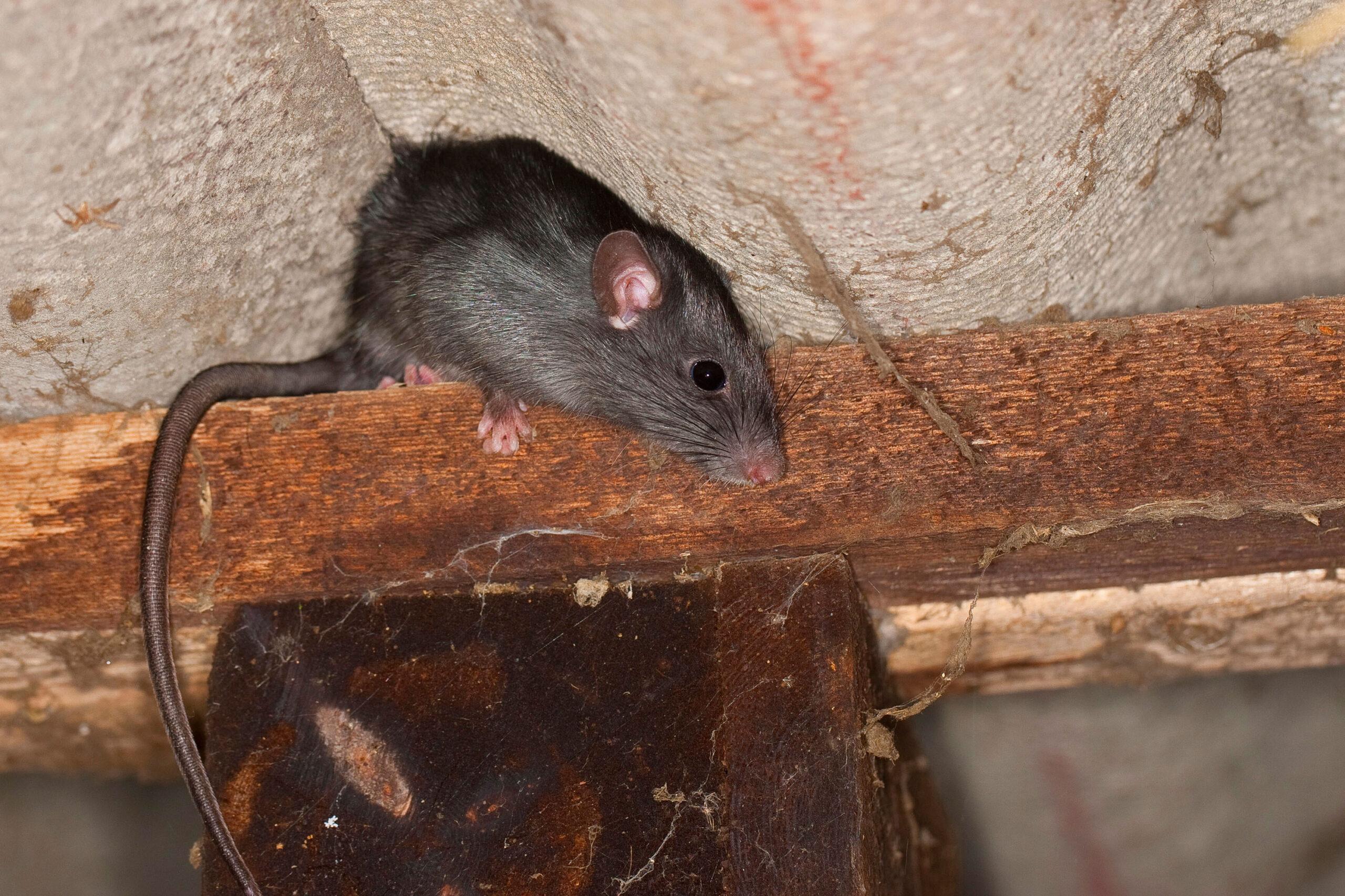 Roof Rat – Singapore rat control