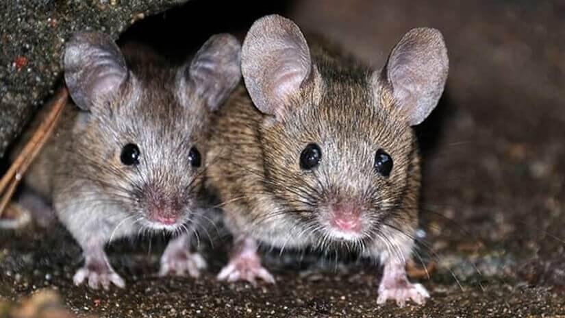 Singapore rats control