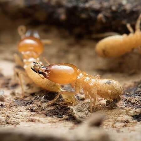 termite control Singapore services