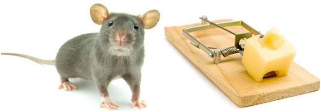 rat control singapore