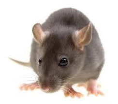 rodent control singapore